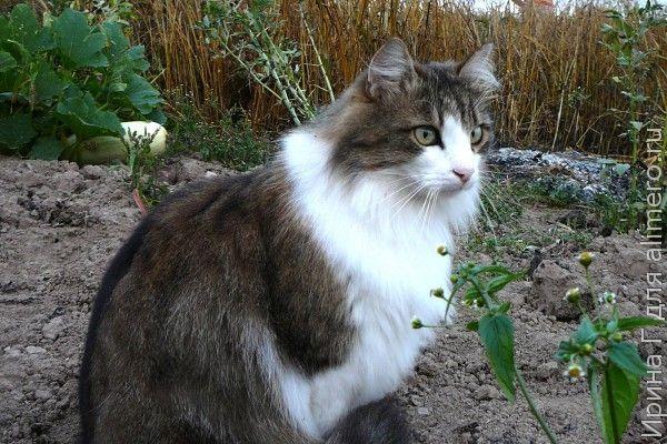 Как сороки кота обхитрили