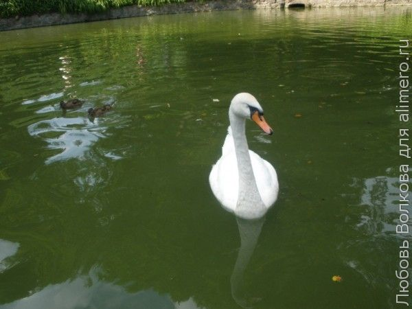 лебедь фото