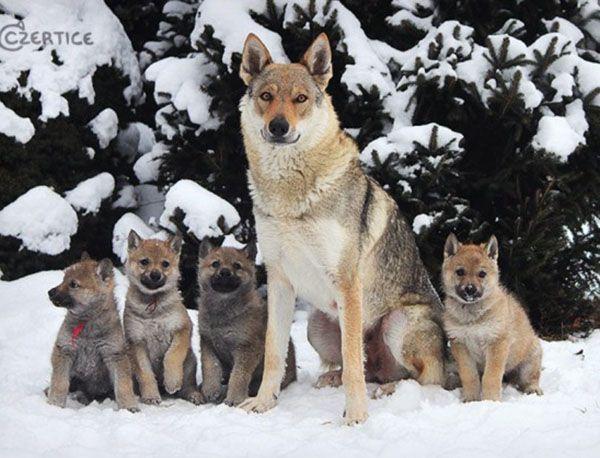 Чехословацкий влчак (чехословацкая волчья собака). Эта порода максимально близкая к настоящему волку. Была выведена в 1955 году в результате скрещивания немецких овчарок и волков. Влчаки сохранили свою по-волчьи дикую природу и любят чувствовать себя членами стаи.