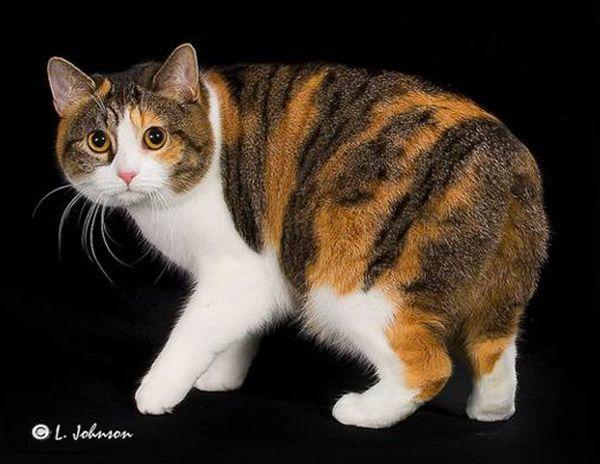 Манкс (мэнкс). Это единственная по-настоящему лишенная хвоста порода кошек. Отсутствие хвоста у этих животных – результат естественной мутации. Мэнксы могут быть полностью лишены хвоста или сохранять 2-3 хвостовых позвонка (разрешено стандартом).