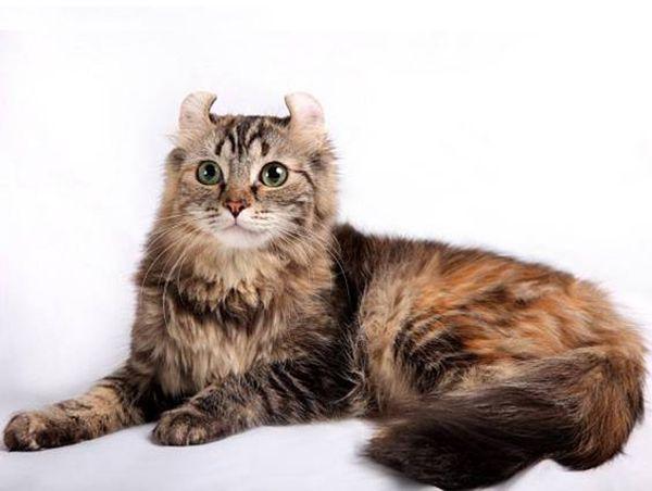 Американские керлы. Это неординарные кошки. Основная отличительная черта этой породы – твердые маленькие или средние уши с загнутыми назад кончиками. Данная особенность придает этим редким и дорогим кошкам особое очарование и оригинальность.