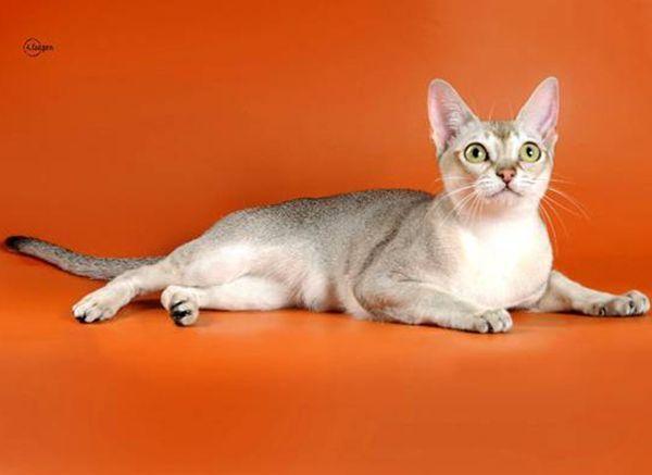 Сингапурская кошка (Сингапура).  Она относится к относительно  молодым породам. Сингапура отличается аккуратной, небольшого размера головой, большими выразительными глазами и окрасом «сепия агути». Питомников, занимающихся разведением кошек этой породы, да и самих сингапур, соответственно, очень мало не только в России, но и в остальном мире.