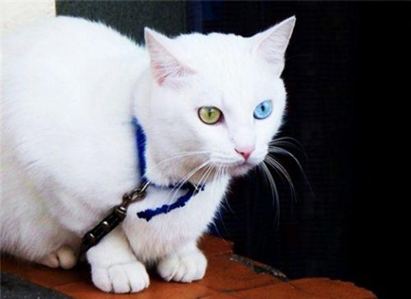 Као-мани или алмазный глаз.  Порода, привлекающая внимание своими необычными глазами. Као-мани могут иметь помимо голубого или золотого окраса обоих глаз, глаза разного цвета, то есть один из них может быть окрашен в желтый цвет, а другой – в голубой. Другие цвета глаз для этой породы недопустимы, как и другой окрас шерсти. Волосяной покров као-мани должен быть исключительно белым.