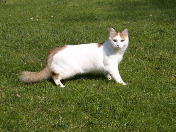 Турецкий ван (турецкая ванская кошка).  Эти кошки отличаются они вовсе не окрасом, он обычный. Они очень любят воду, плавают и купаются чаще лягушек. Охотятся и даже иногда спят в воде! У ванов бывают разноцветные глаза, практически у всех пятнышки на носу, а признаком породы считается белое тело, цветной хвостик и белая V-образная отметина над носом. Ваны сильные, ловкие. У них музыкальный и богатый спектр тонов голоса. Это целая музыкальная шкатулка!