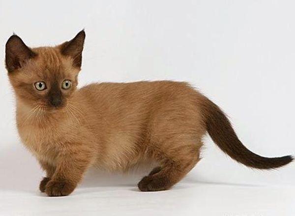"""Манчкин. Необычная, коротколапая кошка. Название получила от племени маленьких человечков из сказки """"Волшебник страны Оз"""". Из-за своей особенности ее любят называть таксой. Когда эти кошки садятся, то становятся похожими на кенгуру из-за свисающих задних лап."""