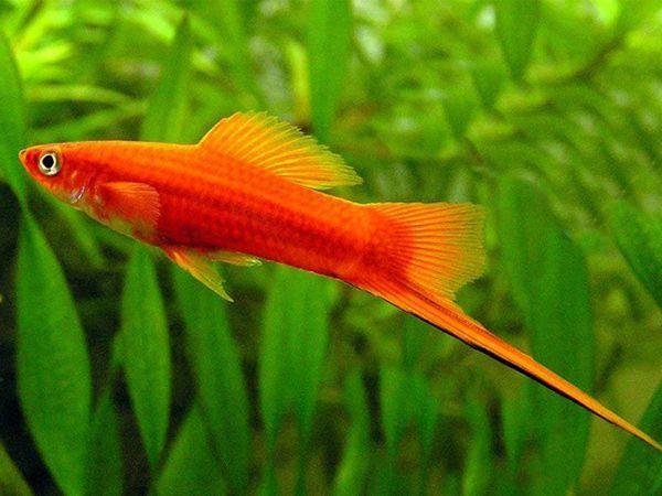 """Меченосец – аквариумная рыбка семейства Пецилиевые. У меченосца плотное, вытянутое в длину и уплощенное с боков тело. Голова  небольшая, рот вздернутый, глаза крупные. Самым распространенным окрасом является красный. Длинный """"меч"""" окрашен в зеленый, желтый, оранжевый, красноватый цвета и окантован черной полоской."""