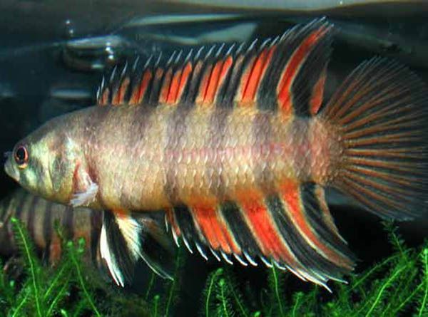 Ктенопома Анзорга – аквариумная рыбка семейства Анабасовые подотряда Лабиринтовые. Уплощенное с боков, вытянутое в длину тело, основной фон которого варьируется от желто-коричневого до коричневого цвета с фиолетовым, голубым или зеленоватым отливом. Красно-коричневые полосы (6-7 штук) проходят по бокам и переходят на анальный и спинной плавники. В длину самка вырастает до 7 см, самец – до 8 см.