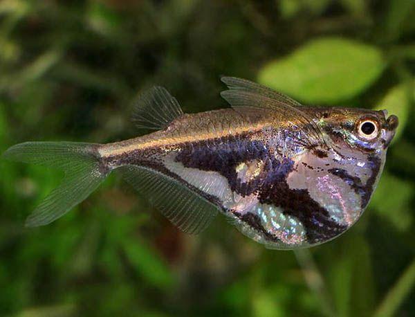 Карнегиелла мраморная – аквариумная рыбка семейства Клинобрюхие или Гастеропелековые. Высокое тело с боков сильно уплощено, профиль брюха и груди острый, весьма выпуклый, профиль спины прямой. Спинной плавник смещен на заднюю часть тела, грудные – очень крупные. Спина рыбки окрашена в оливковый цвет. Длина рыбки не превышает 4,5 см.