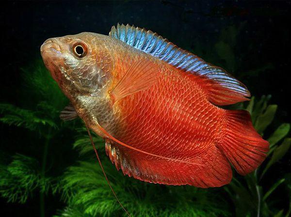 Красный неоновый лялиуc – выведенная путем селекции форма. Это необычайно красочная, грациозная, активная, простая в уходе рыбка, подходящая по темпераменту (очень миролюбивое существо) для обитания в общем аквариуме.