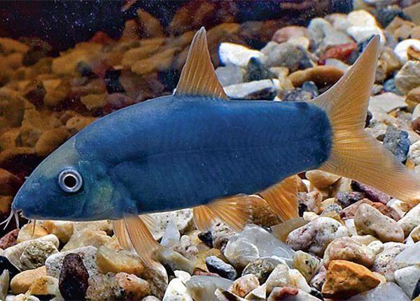 Боция Модеста - аквариумная рыбка семейства Вьюновые. Боция Модеста имеет серый окрас, который в зависимости от эмоционального состояния рыбки может приобретать голубоватый или зеленоватый оттенок. Линия спины – темная. У основания хвостового плавника расположено пятно черного цвета. Спинной, хвостовой и анальный плавники – желтые, почти оранжевые. Другие плавники – светлых или желтоватых оттенков. Все плавники – прозрачные, за исключением спинного.