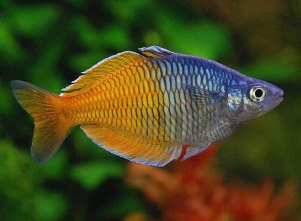 Меланотения Босмана или Атерина двухцветная – аквариумная рыбка семейства Меланотениевые или Радужницы. Имеет высокое туловище овальной формы, в длину немного вытянутое, а по бокам сжатое. Глаза у этих рыб большие, а губы толстые. На хвостовом плавнике имеются две лопасти. Спинной плавник также разделяется на две части. Самцы меланотении Босмана вырастают в длину до 10 см, а самки - от 7 до 8 см.