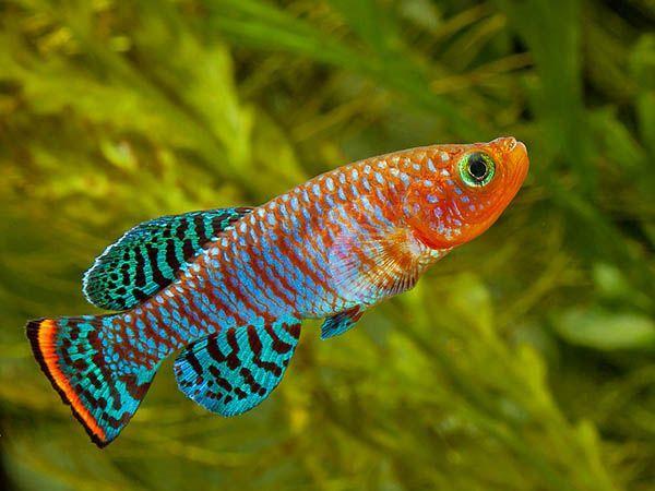 Нотобранхиус Рахова - аквариумная рыбка семейства Карпозубые. Их  можно содержать группой (самец и 2-4 самочки) в общем аквариуме, минимальная длина которого 40 см, однако предпочтительней в видовом. За исключением проявляемой самцами в отношении друг друга агрессии, эти аквариумные рыбки миролюбивы, держатся в нижней части аквариума. Вода должна быть чистой, уровень воды не выше 25 см. Еженедельно необходимо подменивать свежей 20% объема воды. Корм живой, включая мотыль.