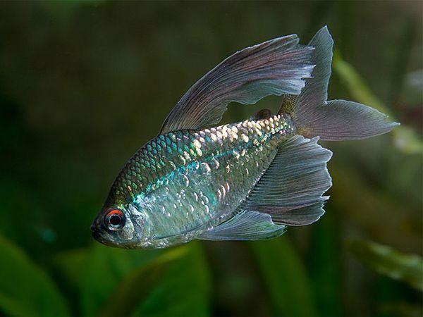 Тетра бриллиантовая – аквариумная рыбка семейства Харациновые. У нее  удлиненное, довольно высокое тело. По форме напоминает овал. По телу разбросаны серебристые, золотистые и медные пятнышки, отсвечивающие в отраженном свете. Верхняя часть радужная оболочки глаза окрашена в красный. В длину рыбка не более 6 см.