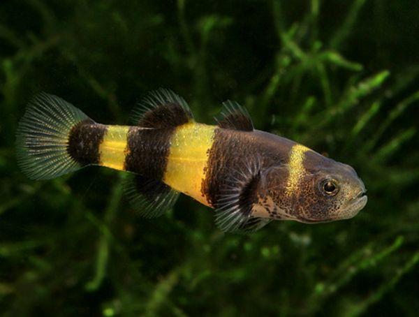 Брахигобиус ксантозона - аквариумная рыбка семейства Бычковые. Голова крупная. У этой рыбки хорошо развиты все плавники. Окраска: на желтом или грязно-желтом фоне плавников и тела расположены пятна и поперечные полосы коричневого цвета, иногда цвет почти черный. В отличие от самки самец более стройный и подвижный. Размер брахигобиуса ксантозона в длину около 5 см.