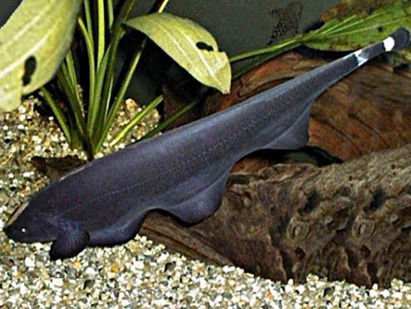 Аптеронотус белокаймовый или черный нож -  аквариумная рыбка семейства Аптеронотовые. Относится к слабоэлектрическим рыбам, в районе хвостового стебля у него расположен орган, который излучает слабые электрические импульсы, с их помощью  эта рыбка защищается и ориентируется в мутной воде. Брюшные и спинной плавники у этой рыбки отсутствуют. В природе в длину может вырастать до 50 см, в аквариуме до 35-40 см.