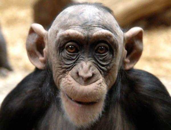 Самцы обезьян лысеют точно так же, как и мужчины.