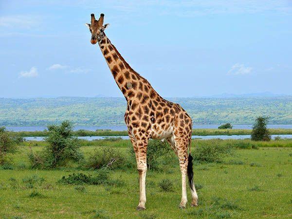 Жираф чистит свои уши с помощью языка. У него это получается благодаря тому, что длина языка достигает полутора метров.