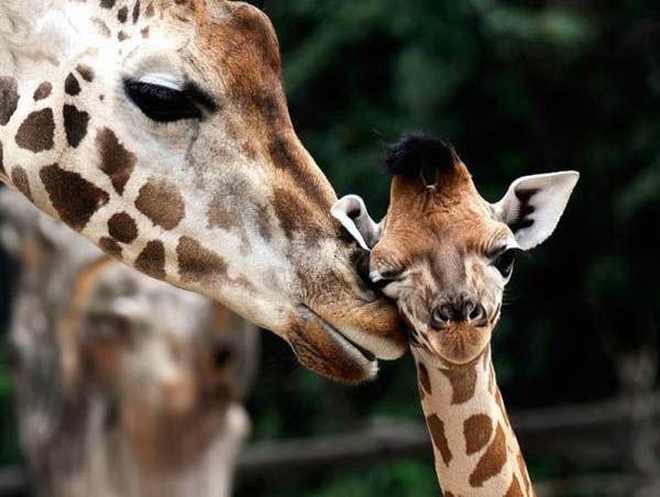 При родах жирафы ее детеныш падает с высоты около полутора метров.