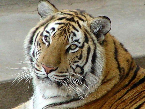 У тигров полосатую расцветку имеет не только сама шерсть, но кожа тоже.