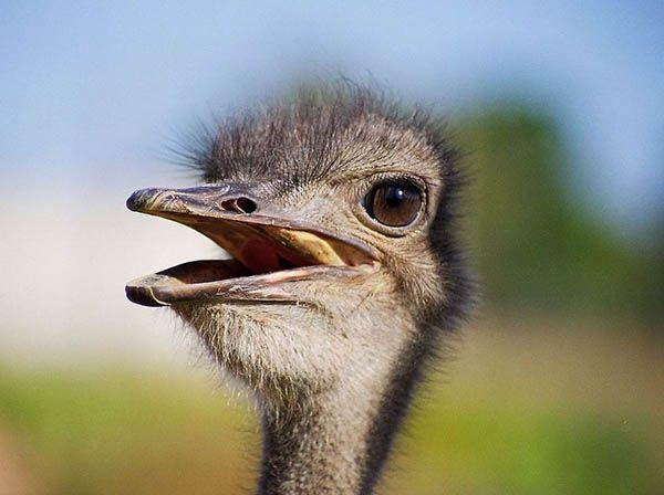 Глаз страуса даже больше по размеру, чем его мозг!