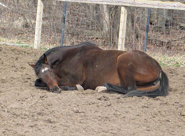 И лошади, и коровы имеют способность спать стоя. Но видеть сны они так не могут, для этого им обязательно нужно лечь!