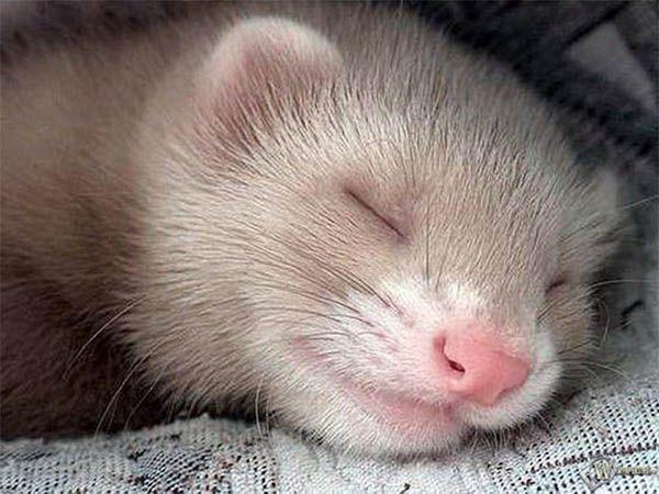 Хорьки могут спать целых 20 часов в сутки!