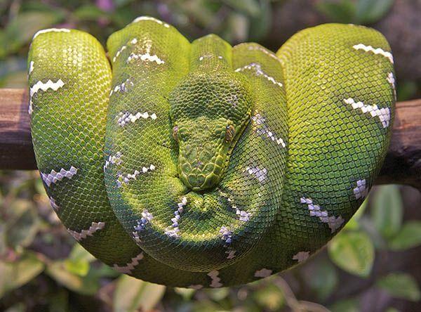 Змеи могут спать три года подряд и при этом ничего не есть все это время.