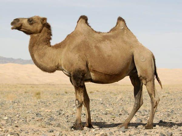 Верблюд правда плюется именно в тех, кто его раздражает.