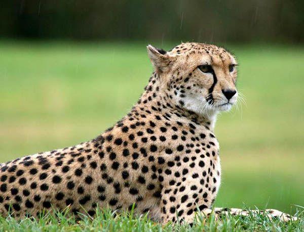 Гепард это единственная кошка, которая не умеет прятать свои когти.
