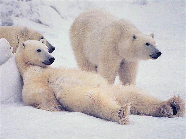 Среди животных есть и правши, и левши. К примеру, полярные медведи являются левшами.