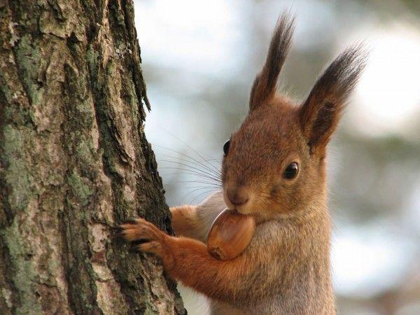 Белки случайно сажают миллионы деревьев, потому что закапывают в землю орехи, а потом забывают, где их спрятали.