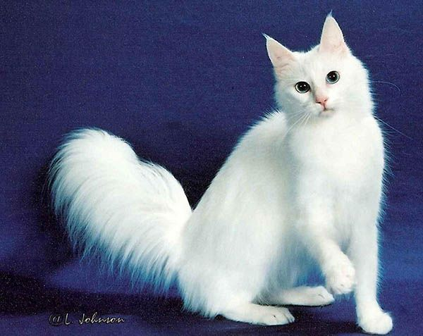 «Царство зверей оскудело..... Только кошка осталась кошкой, Цельной и гордой. Она совершенна. Она недоступна и знает, Что хочет». Пабло Неруда