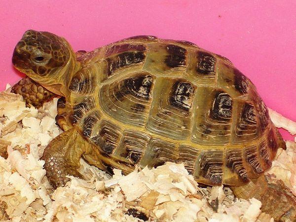 5. Черепахи пользуются огромной популярностью среди любителей домашних животных. Большинство видов этих рептилий идеально подходят для жизни в условиях городских квартир. Существует несколько способов содержания черепах: свободно, в террариумах или в специально оборудованных вольерах.