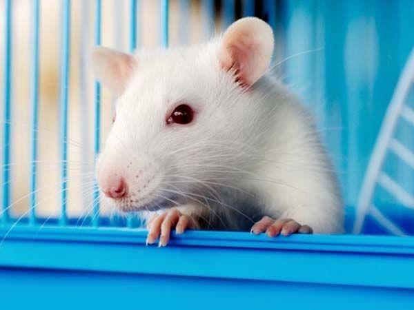 """4. Домашние декоративные крыски.  Они очень любят различные висячие гнезда, типа гамаков, подвесных корзинок или шаров, предпочитают их любым другим """"норкам"""".  Крыс нельзя держать на сквозняке или на солнцепеке. Это очень вредно для них!"""