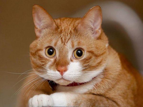 Запах кошачьей мочи можно убрать, если обрабатывать помеченные котом места уксусом, лимонным соком или содой. После мытья стоит воспользоваться эфирными маслами — цитрусовыми или эвкалиптовым, которые не только оставят приятный аромат, но и отобьют у питомца желание метить конкретное место в квартире.