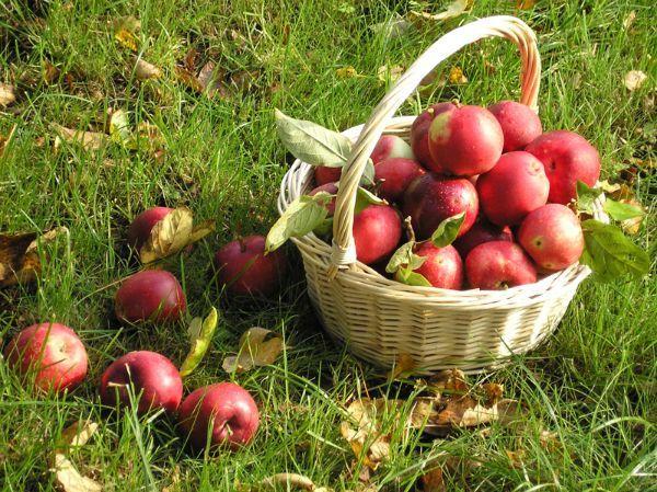 Нужный в яблоках пектин гонит прочь холестерин.