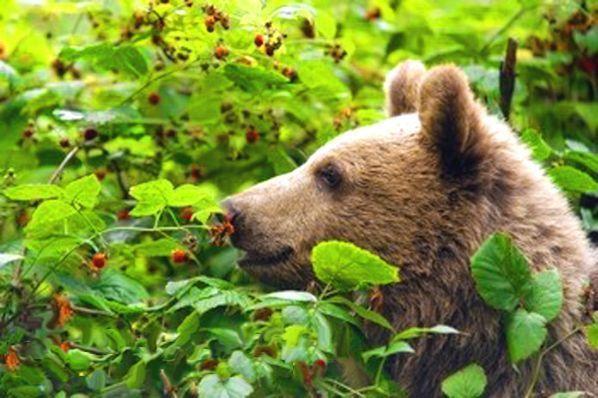 15. У медведя во бору. В этой игре необходимо участие двух взрослых. Медведь (один из взрослых) сидит на стульчике в углу комнаты и «спит». Другой взрослый вместе с ребенком (или детьми) ходит по лесу, собирает грибы, ягоды. Затем взрослый и дети, взявшись за руки, начинают приближаться к медведю со словами: «У медведя во бору грибы, ягоды беру, а медведь сидит и на нас рычит». На последнем слове медведь рычит и бежит за ребенком и взрослым.