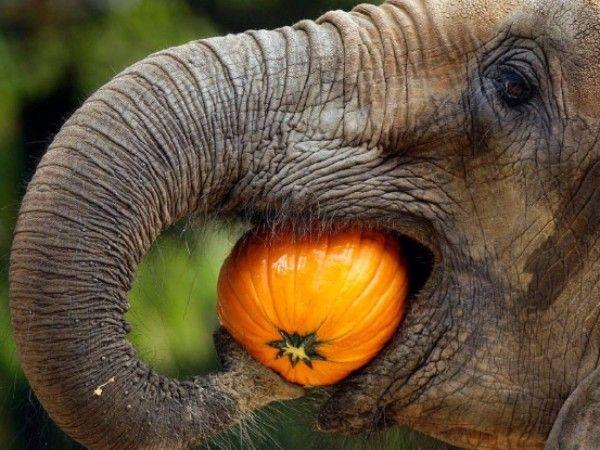 6. Пришел к нам в гости слон. Взрослый: Пришел к нам в гости слон (тигр, мышонок, заяц и т.п.), чем будем его угощать? Ребенок отвечает (если не знает, взрослый подробно рассказывает, чем питается животное).
