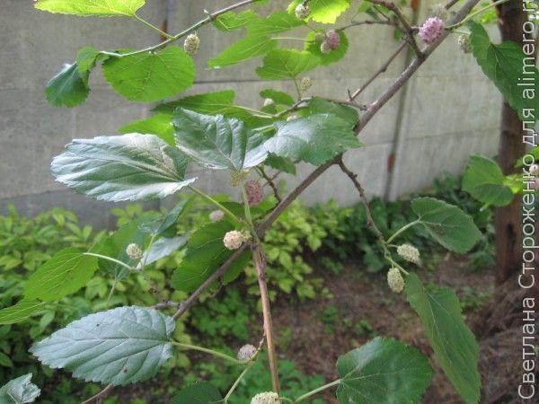 Собираем растения летом или как избавиться от кашля зимой