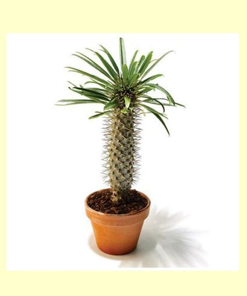 Пахиподиум ламера.   Чем-то похожая на маленькую пальму: её так и называют – мадагаскарская пальма, но название это неправильное. Листья ламеры ядовиты, и могут быть опасны для детей и животных.