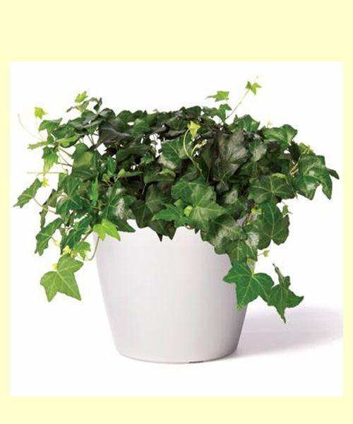 Плющ.  Его листья и стебли ядовиты – если их случится попробовать, например, домашнему грызуну, то животное погибнет. Иногда плющ цветёт, хотя и редко – раз в несколько лет, но цветки пахнут неприятно, а плоды ещё более ядовиты, чем остальные части растения.