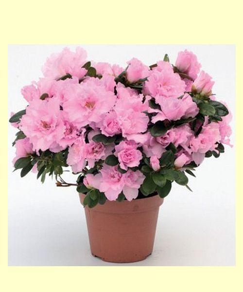 Азалия.  Их насыщенный аромат вызывает головокружение, а в плохо проветриваемом помещении может вызвать потерю сознания – это растение содержит наркотические вещества.