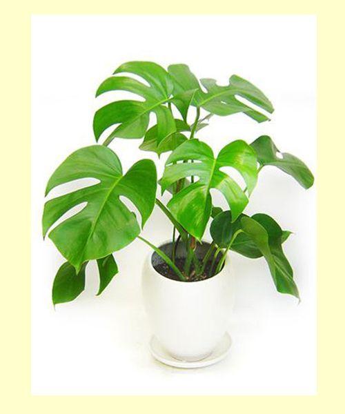 Монстера. В этих больших – до 0,5 м – листьях содержатся токсины, вызывающие жжение в слизистых оболочках, воспаление, сильное выделение слюны, рвоту и расстройства пищеварения.