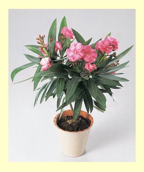 Олеандр. Цветки у него душистые и приятно пахнущие, но могут вызывать головную боль, если растение цветёт слишком буйно. Семена и сок ядовиты особенно, поэтому ухаживать за ним надо в перчатках, а детей и животных близко не подпускать.