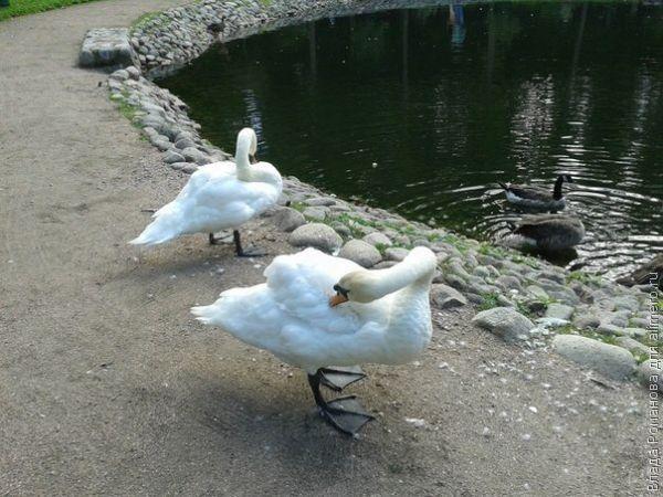 лебеди фото