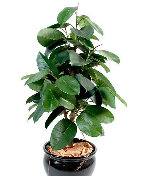Фикусы – популярные декоративные растения. Опасные вещества содержатся в стеблях и листьях этого растения. Сок фикуса может вызвать раздражение, покраснение кожи, в некоторых случаях могут выступить волдыри, возможны аллергические реакции.