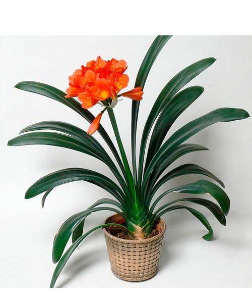 При неосторожном обращении с листьями или корневищем это красивое растение может навредить. Яд кливии вызывает рвоту, диарею, обильное слюноотделение, а иногда и паралич.