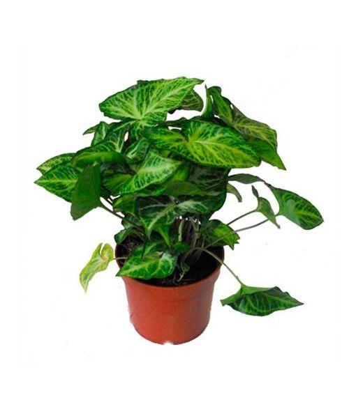 Сингониум. Не забывайте о том, что все части сингониумов ядовиты, поэтому эти растения держат подальше от детей и домашних животных.