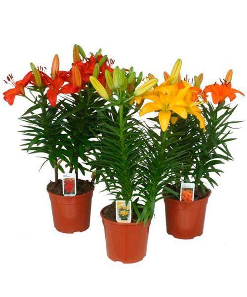 Лилия. Лилии особенно ядовиты для людей, кошек, собак и коз. Листья и цветы растения — то, где яд сконцентрирован. Их прием в пищу может привести к повреждению почек.