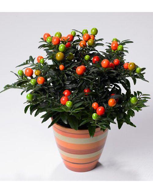 Паслен. Ядовитыми у паслена являются  стебель, листья и плоды. При  созревания  у плодов сладко-горького паслена ядовитые свойства остаются, в отличие от паслена черного.  Отравлению красным пасленом подвергаются как правило дети, польстившиеся на ягоды.
